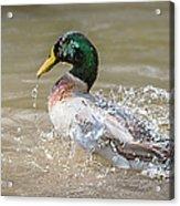 Mallard Duck Bathing Time In Dam Acrylic Print