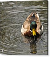 Mallard Duck Drake With Water Droplets On Bill Acrylic Print