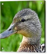 Mallard Duck Female Acrylic Print