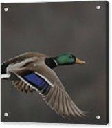 Mallard Duck in Flight Artsy2 Acrylic Print