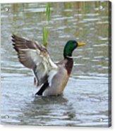 Mallard Duck Landing In Pond Acrylic Print