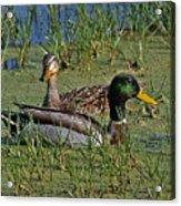 Mallard Duck Pair Acrylic Print