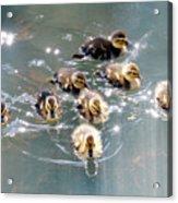 Mallard Ducklings Acrylic Print