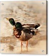 Mallard Ducks Acrylic Print