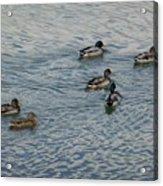 Mallard Ducks In Pond 2 Acrylic Print