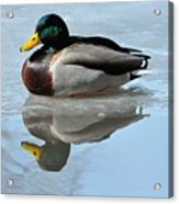 Mallard Duck Drake On Ice II Acrylic Print