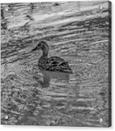 Mallard #e9 Acrylic Print