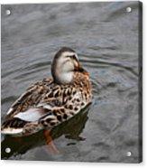 Mallard Hen 20130924_309 Acrylic Print