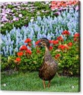 Mallard In The Garden Acrylic Print