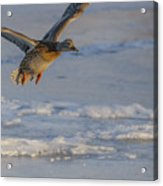 Mallard Landing Over Ice Acrylic Print
