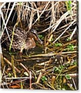 Mallard Mama With Duckling Acrylic Print
