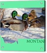 Mallard Montana Acrylic Print