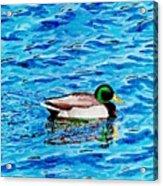 Mallard On Water Acrylic Print