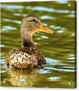 Mallard Or Wild Duck - Anas Platyrhynchos Acrylic Print