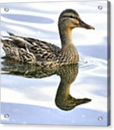 Mallard Reflections Acrylic Print