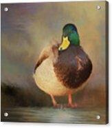 Mallard Acrylic Print