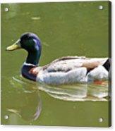 Mallard Swimming  Acrylic Print
