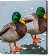 Mallards On Ice Acrylic Print