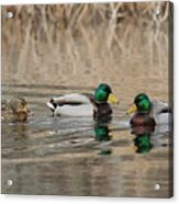 Mallards On The Pond Acrylic Print
