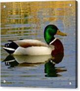 Mallord Duck Acrylic Print