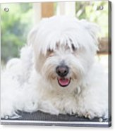 Maltese Dog Is Laying Next To Pile Of Hair Acrylic Print