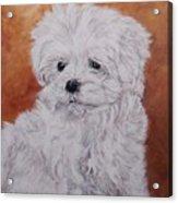 Maltese Puppy Acrylic Print