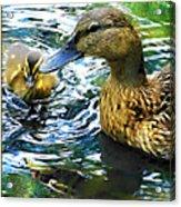 Mama And Chick Acrylic Print