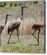 Mama And Two Juvenile Sandhill Cranes Acrylic Print