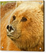 Mama Bear Close Up Acrylic Print