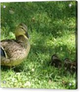 Mama Duck Acrylic Print