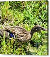 Mama Duck On Guard Acrylic Print