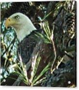 Mama Eagle  Acrylic Print
