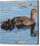 Mama Mallard And Her Ducklings Acrylic Print