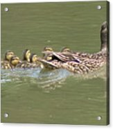 Mama Mallard And Her Ducklings Out For A Morning Swim Acrylic Print