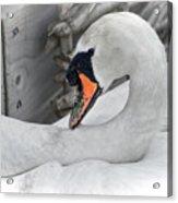 Mama Swan At Abbotsbury - Desaturated Acrylic Print