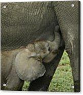Mama's Milk Bar Acrylic Print