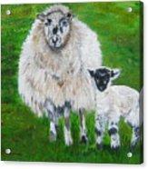 Mamma And Baby Sheep Of Ireland Acrylic Print