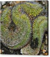 Mammillaria Red Cap Cristata Acrylic Print