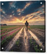Man Watching Sunrise In Tulip Field Acrylic Print