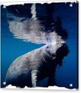 Manatee Mirror Image Acrylic Print