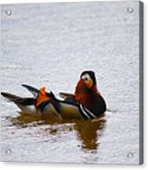 Mandarin Duck 20130507_104 Acrylic Print