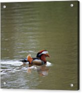 Mandarin Duck 20130507_41 Acrylic Print