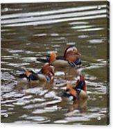Mandarin Duck 20130507_93 Acrylic Print