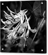Mandarin Honeysuckle Vine 1 Black And White Acrylic Print