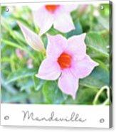 Mandevilla Pink Beauty Acrylic Print