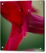 Mandevilla Sun Parasol Giant Crimson Photograph By Sharon Mau