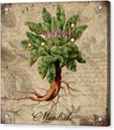 Mandrake Vintage Elements Botanicals Collection Acrylic Print