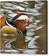 Mandrin Duck With A Purpose Acrylic Print