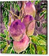 Mango Tree Fruit Acrylic Print