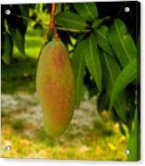 Mango Work Number One Acrylic Print